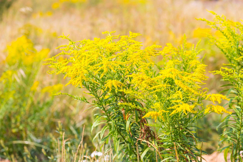 Allergie ai pollini: ecco il sollievo che può dare un betaglucano potenziato al di là di tanti irreali slogan pubblicitari.
